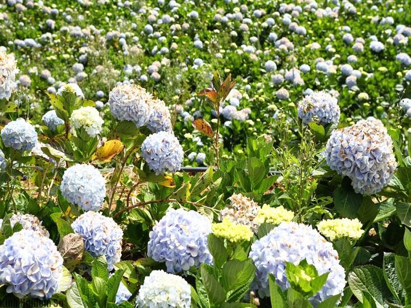 Vườn cẩm tú cầu đẹp đến nao lòng