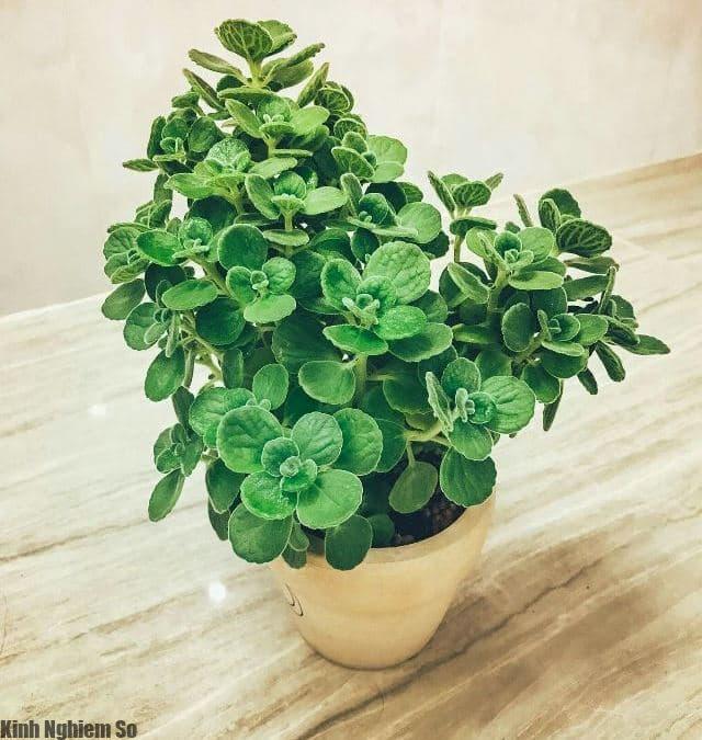 Sen thơm, loài cây gửi gắm mùi hương may mắn