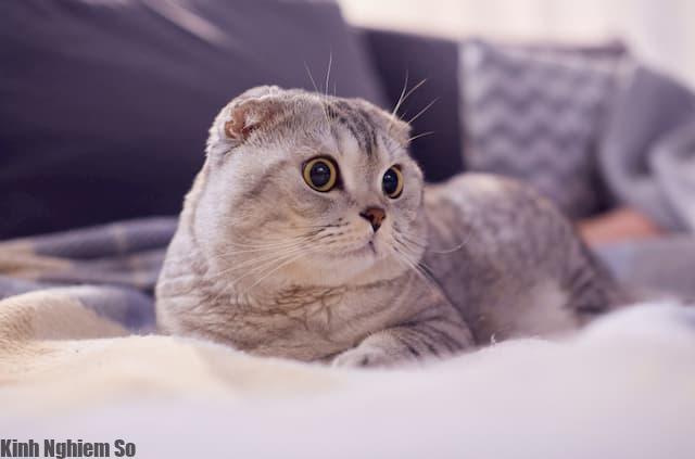 Mèo tai cụp, đôi tai lúc nào cũng cụp sát đầu