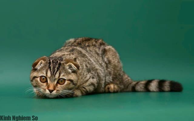 Susie, tên gọi đầu tiên của những chú mèo tai cụp