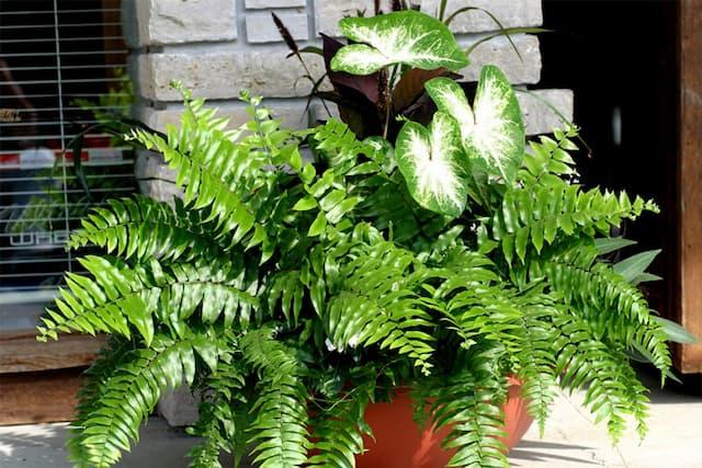 Cây dương xỉ Mỹ thanh lọc không khí trong nhà